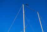 Magnificent Frigatebirds (immature) on rigging of Galapagos schooner M/S Beagle