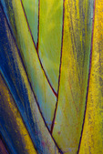 Traveler's Palm, closeup, fan formed by base of petioles