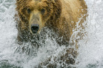 Brown Bear plunging after salmon, Brooks River