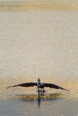 Brown Pelican lifting off water to plunge after fish