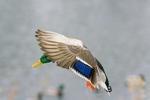 Mallard drake set to land on winter pond