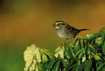 White-throated Sparrow on flowering Pieris japonica