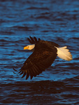 Bald Eagle low over water