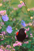 Red-winged Blackbird, flowering chicory and vetch