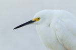 Snowy Egret against sand beach