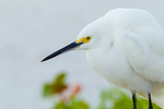 Snowy Egret  against sea grape and white sand beach