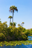 Riverbank palms, north shore, Caloosahatchee (River)