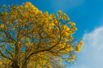 Silver Trumpet tree in blossom