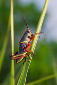 Lubber Grasshopper nymph