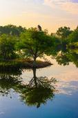 Great Blue Heron on baldcypress, constructed wetland