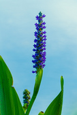 Pickerelweed against softly lit water