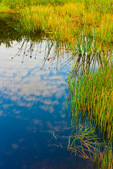 freshwater marsh with bulrushes (probably Softstem Bulrush)