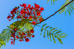 Royal Poinciana blossoms, seen from below
