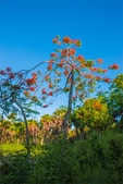 Royal Poinciana trees, cabbage palms