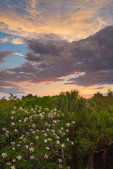 Flowering Frangipani, Cabbage Palms, subtropical trees at twilight