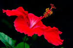 red Hibiscus (species unknown)