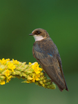 Tree Swallow (female) on flowering mullein