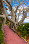 Pink Promenade footpath passing through roots of Banyan Tree
