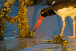 American Oystercatcher foraging acorn mussels