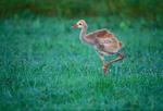 Sandhill Crane chick, Spring marsh