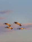 Sandhill Cranes, evening clouds