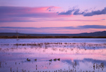 Impounded marsh at sunset, Northern Pintails and unidentified raptor