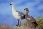 Upland Goose pair above South Atlantic