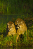 Mountain Lions by pond