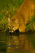 Mountain Lion entering pond