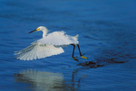 Snowy Egret dragging feet to drive fish