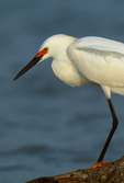 Snowy Egret (breeding plumage) at cattle tank