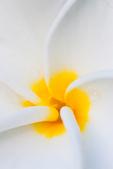 Frangipani blossom, closeup