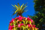 Christmas tree made of potted bromeliads