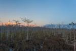 Dwarf cypress forest at sunset