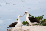 Laysan albatrosses at nest site, Sand Island