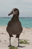 Black-footed albatross, adult
