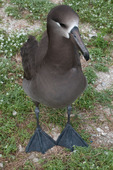Black-footed albatross, adult