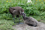 Black-footed albatross, adult feeding chick