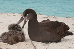 Adult black-footed albatross grooms chick