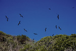 Magnificent frigatebirds, in flight over nest site.