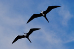 Magnificent frigatebirds, females, in flight.