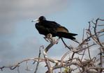 Magnificent frigatebird, male, perched.