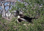 Magnificent frigatebird, female, perched.
