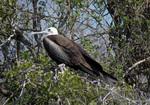 Magnificent frigatebird, juvenile, perched.