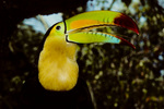 Keel-billed toucans hunt for fruits, small lizards  and insects in the forest understory from tropical Mexico to northwestern Venezuela.
