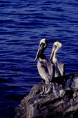 Brown pelicans resting near water between feeding forays