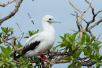 Male red-footed booby