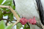 Red-footed booby, white morph, showing webbed red feet