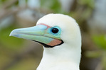 Red-footed booby, male, white morph, showing bold facial pattern