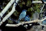 Pinyon jay perched in mountain mahogany tree, autumn.